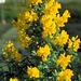 Coronilla Emerus