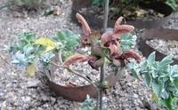 Salvia lutea Kirstenbosch