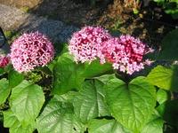 Clerodendrum bungei