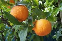Citrus aurantium Sikkimensis Geant