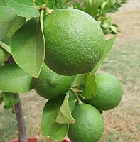 Citrus latifolia lime verde