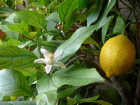 Citrus  lemon