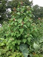 Boomspinazie - Chenopodium giganteum