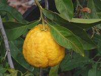 Citrus Ishang