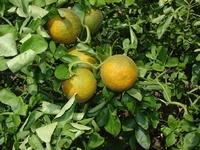 Citrus Poncirus trifoliata
