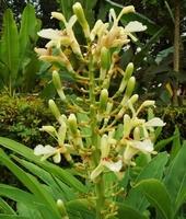 Thaise Gember - Alpinia galanga