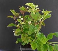 Honingverbena - Lippia dulcis