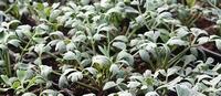 Spaanse zilverzuring - Rumex scutatus silver leaf