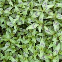 Vietnamese koriander - Persicaria odorata