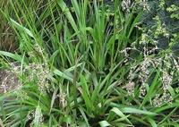 Sweet grass - Hierochloe odorata