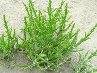 Queller, Salicornia europaea