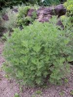 Artemisia abrotanum coca cola