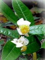 Tea bush -  Camellia sinensis