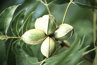 Pecan nut tree -  Carya illinoinensis