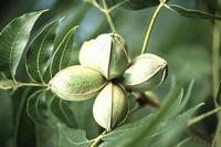 Pacanier - Carya illinoinensis