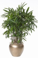 Rhapis exelsa - Air purifying room palm