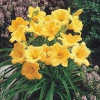 Daglelie - Eetbare Hemerocallis hybride Stella d'Oro