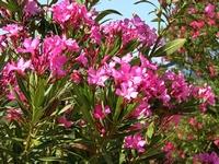 Oleander red