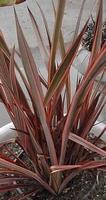 Phormium tenax atropurpureum