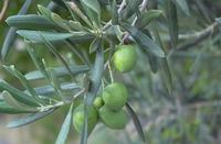 Olivenbaum - Olea Europa