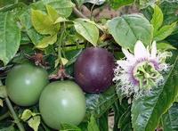 Passiflora edulis