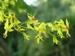 Koelreuteria paniculata fastigiata