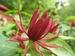 Calycanthus floridus - specerijstruik