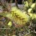Callistemon viridiflorus
