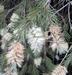 Callistemon salignus white