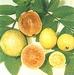 Guave - Psidium guajava