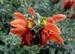 Salvia  lutea Africana
