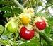 Litchi tomato, Solanum sisymbrifolium