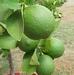 Citrus latifolia lime verde