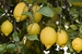 Citrus lemon lunario