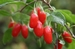 Goji Berry Itallo