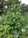 Chenopodium giganteum - L'épinard-en-arbre