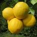 Citrus limon Volkameriana