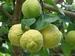 Citrus Jambhiri