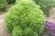 Artemesia abrotanum - Citronnelle