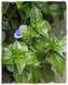 Mushroom plant - Rungia klossii