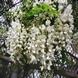 Sophora Japonica - Japanischen Schnurbaum