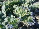 Oyster plant - Mertensia maritima