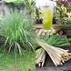 Lemon grass - cymbopogon citratus