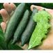 Citrus Australasica Green - Fingerlimette