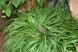 Licorice Sweet Flag -  Acorus gramineus 'Licorice'