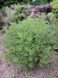 Colakruid - Artemisia abrotanum 'Cola'