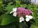 Tee Hortensie - Hydrangea serrata oamacha