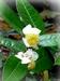 Theestruik - Camellia sinensis