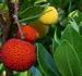Aardbeiboom - Arbutus unedo