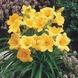 Daylily - Edible Hemerocallis hybride Stella d'Oro